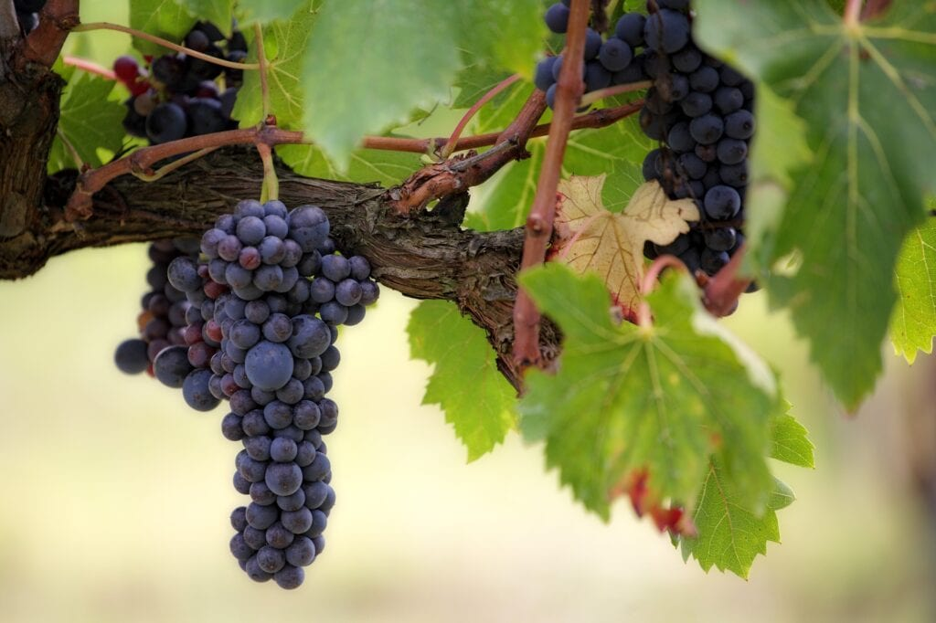 Apostles and the Vine